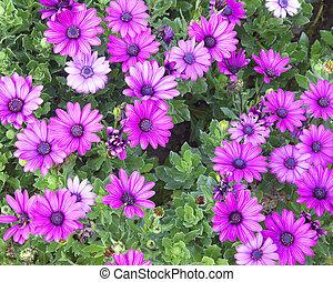 osteospermum flowers blooming flower nature garden green...