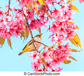 Bird on Cherry Blossom and sakura (white-eye Bird)