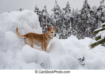 dog among winter snowdrifts - portrait of a dog among winter...