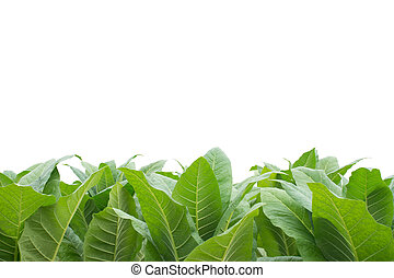Green tobacco field with white background. - Green tobacco...