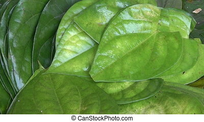 Stack of Betel leaves (Piper Betle) in big plate , Mumbai...