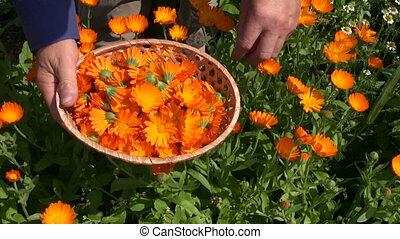 gathering marigold calendula herbs - gardener herbalist hand...