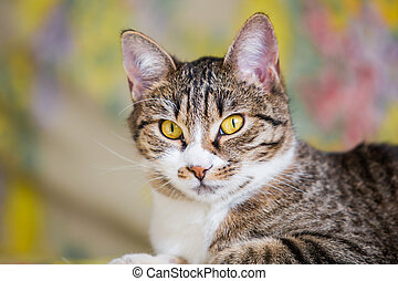 Tabby cat - close up of lying tabby cat with green eyes