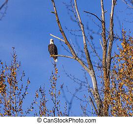 perched, águila, calvo, árbol