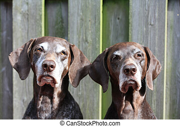 Pointer Sisters - Two German Shorthaired Pointer sisters,...