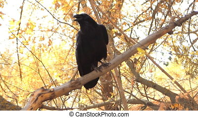 Talking clever bird crow - Raven shot closeup in natural...