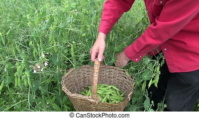 harvesting fresh ripe green pea