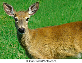 Deer Looking at Us - This is a young deer looking at the...