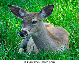 Young Deer - This is a young doe resting on the grass.