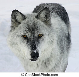 Gray Wolf - This is a gray wolf looking at you