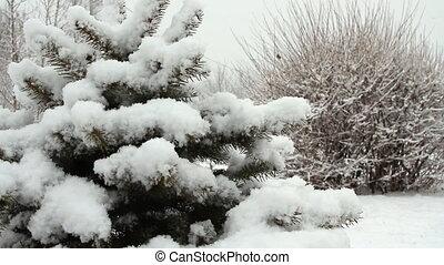 Snowfall asleep spruce in the park