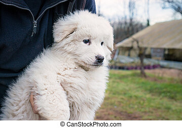 maremma sheepdog puppy - man holding in his arms a maremma...