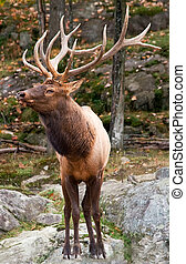 Male Deer - This is a male deer on a fall day.