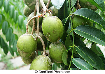Ambarella fruits on the tree. Ambarella is an equatorial or...