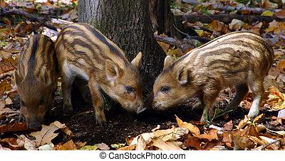 Three Wild Piglets Having Fun - Three wild piglets are...