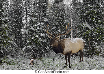 Wild Siberian stag in the winter forest. - Maral stands on...
