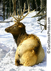 Wapiti Resting in the Snow - On a winter day, a wapiti is...