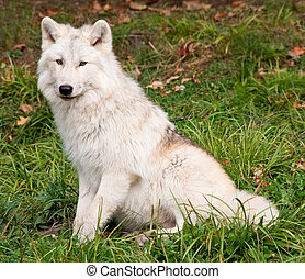 Artic Wolf Looking at the Camera