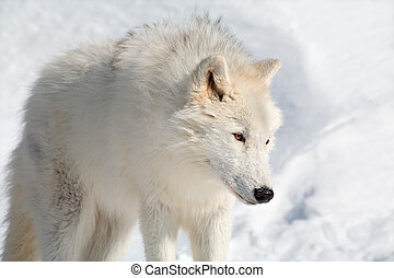 Arctic Wolf in the Snow - An arctic wolf is walking in the...