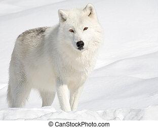 artico, lupo, neve, dall'aspetto, macchina fotografica