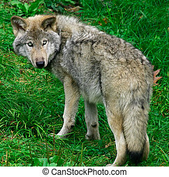 Young Gray Wolf - This is a young gray wolf looking back.
