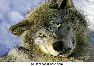 Resting Young Gray Wolf - On a winter day, a young gray wolf...