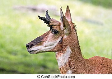 Pronghorn Profile - Pronghorn are an antelope-like mammal...