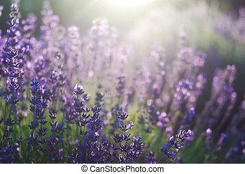 Beautiful detail of lavender field