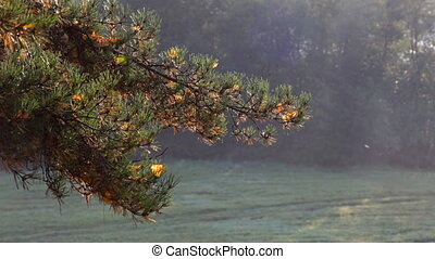 Fir tree branch at autumn sunrise