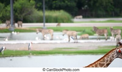 pelicans, zebras on safari park with a change of focus in...
