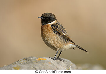 Stonechat, Saxicola torquata, single male on rock, Somerset,...