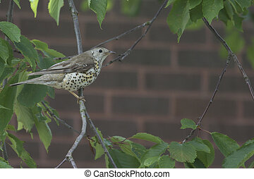 Song Thrush ( Turdus philomelos ) perched in a tree