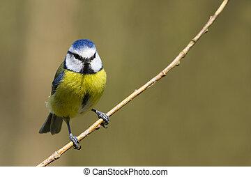 Blue Tit Parus caeruleus perched on a branch