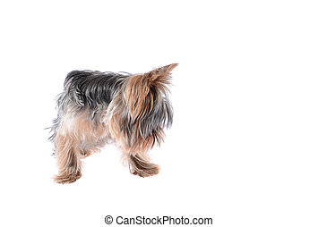 Dog Yorkshire Terrier. Isolated on White Background.