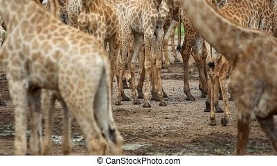 view of legs OF a herd Of giraffe. HD. 1920x1080 - view of...