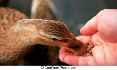 duck feeding from hand. HD. 1920x1080. Close up - duck...