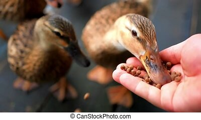 duck feeding from hand. HD. 1920x1080. Close up