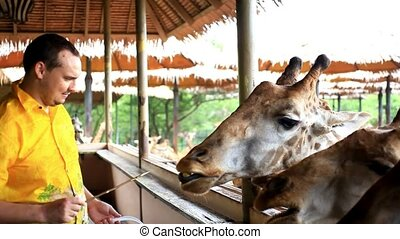 Man feeds giraffes in Safari park. Bangkok, Thailand. HD....