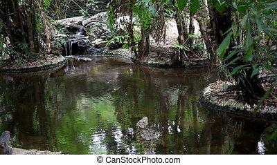 Big alligators at waterfall in pond. HD. 1920x1080