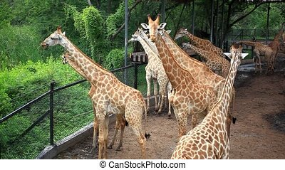 Herd of Giraffes in a Safari Park Bangkok, THailand HD...