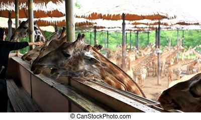bananas feeding giraffes in Safari park.
