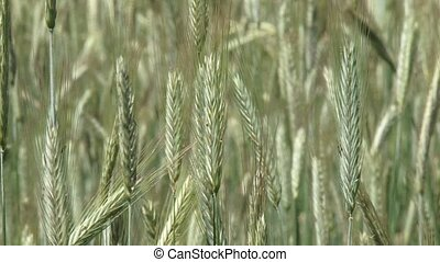 Rye, wheat, Secale cereale - close up - Rye (Secale cereale)...