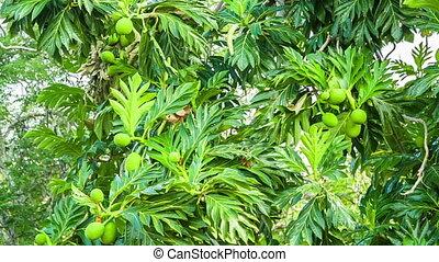 tropical papaya tree with fruits - green and lush papay tree...