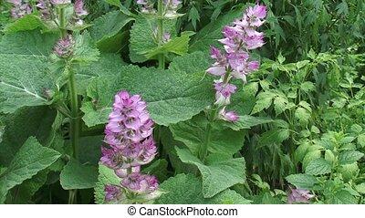 Salvia sclarea, clary sage in bloom. Salvia sclarea has a...