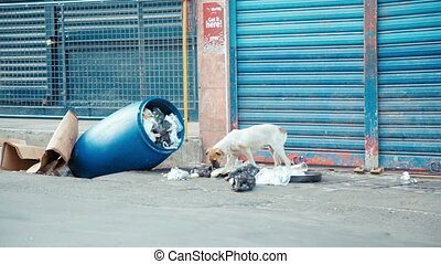 stray dog search for food in mauritius - street dog in...