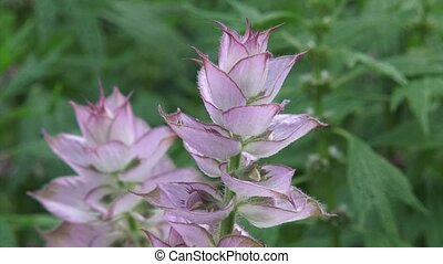 Salvia sclarea, clary sage in bloom - close up Salvia...