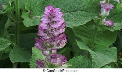 Salvia sclarea, clary sage in bloom - high angle Salvia...