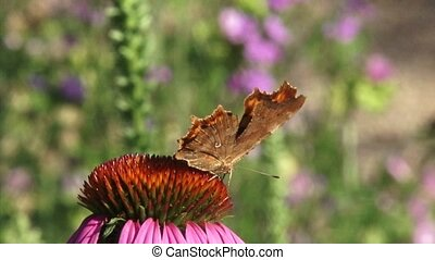 omma butterfly (Polygonia c-album) wings closed on Purple...
