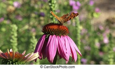 Comma butterfly on echinacea purpurea in summer breeze -...
