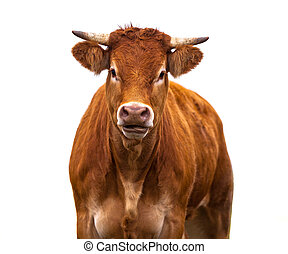 Funny Cow on white - Happy brown Cow Portrait. A Farm Animal...